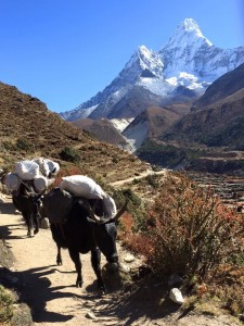 Yaks on the Everest base camp trail