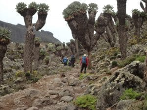 Beautiful Ground Cell Trees on Kilimanjaro